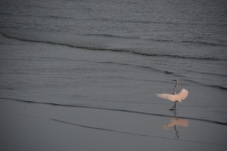 The egret ballet